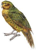 ******** Zoology - Birds - Parrots - Kakapo (Strigops habroptilus) - Artwork