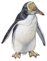 ******** Zoology - Birds - Penguins - Yellow-crested penguin (Megadyptes antipodes) - Artwork