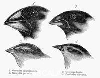 ******** Four or the species of finch observed by Darwin on the Galapagos Islands